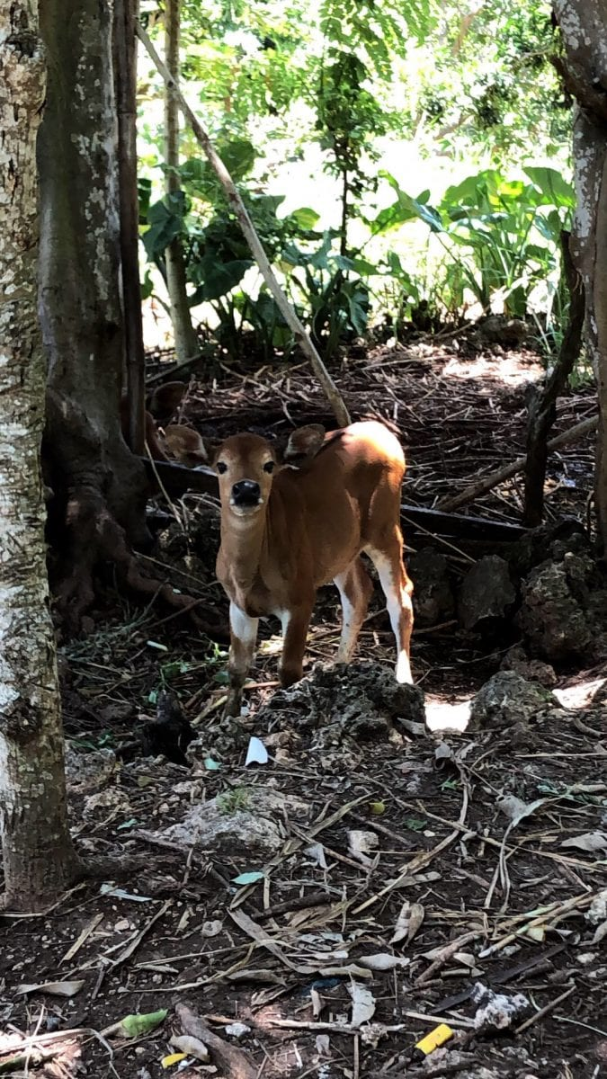 deer-looking cow in the forest