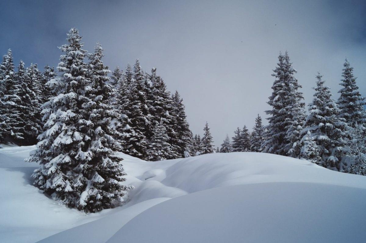 Winterlandschaft mit dicker Schneedecke und großen, schneebedeckten Tannen in der Aletscharena