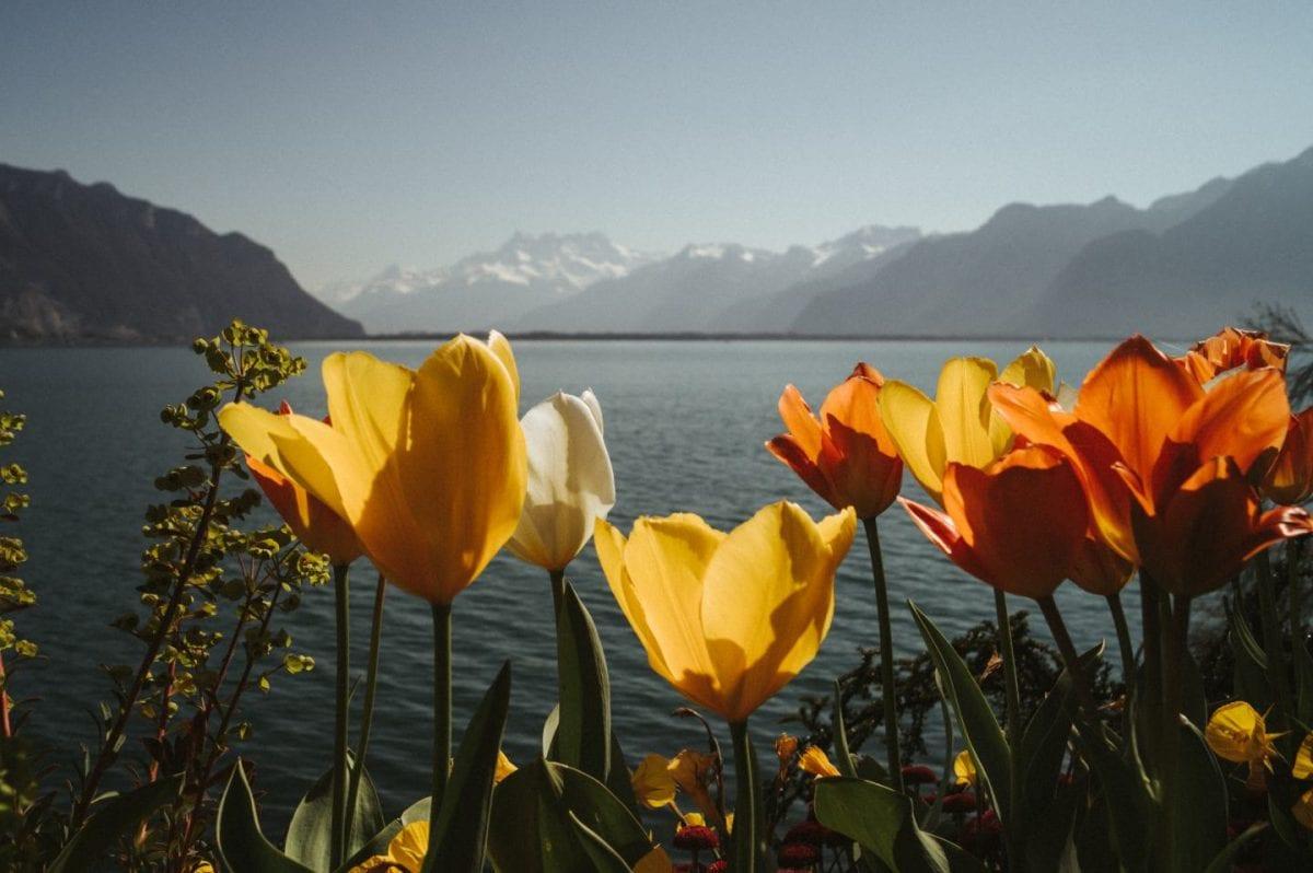 Bunte Tulpen vor dem Genfer See und den schneebedeckten Alpen im Hintergrund. Montreux, Schweiz.